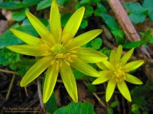 Scharbockskraut, gelbe Blüte