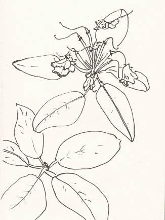 Rhododendron nach der Blüte, Skizzenbuch A5, Fineliner, 08.06.2017, (c) Agnes Podczeck