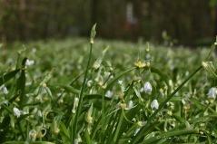 Wunderlauch / Seltsamer Lauch / Berliner Bärlauch (Allium paradoxum)