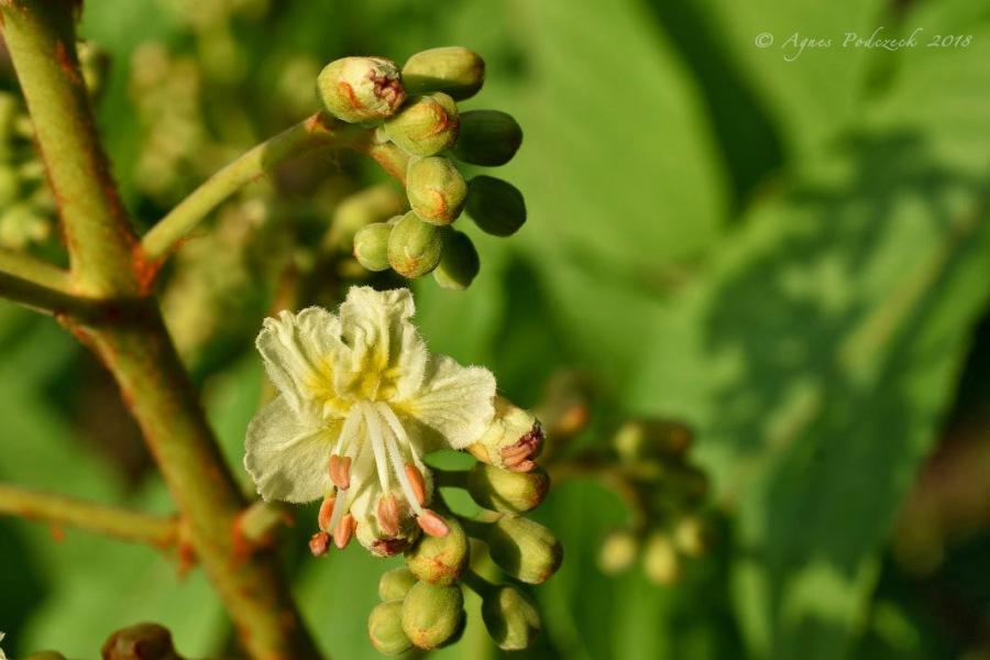Sich Öffnen –Kastanienblüte