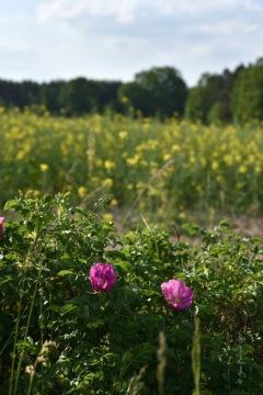 (Hunds?)rosen und Rapsfeld, unterwegs vom Wildpark zurück nach Groß Schönebeck zum Bahnhof