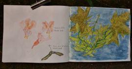 Spitzahorn und Kastanienblüten