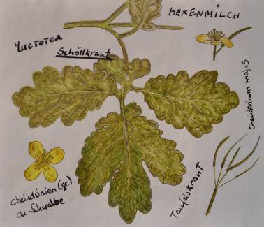 Schöllkraut (Hexenmilch)