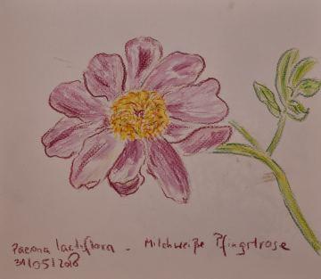 Skizzenbuch, Paeona lactiflora (Milchweiße Pfingstrose), 31.05.2018