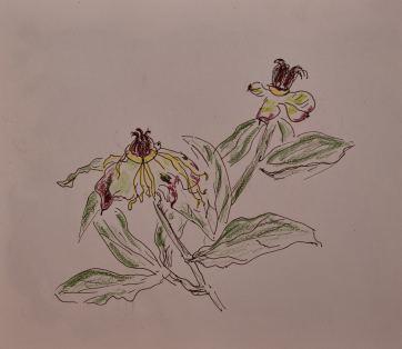 Skizzenbuch, Paeona lactiflora (Milchweiße Pfingstrose), nach der Blüte, 31.05.2018