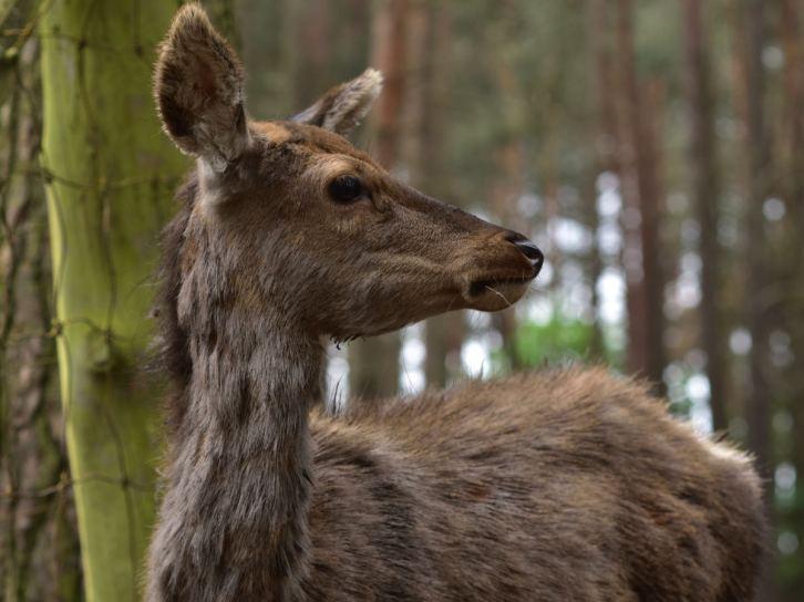 Rothirsch im Wildpark Schorfheide, 12.05.2018