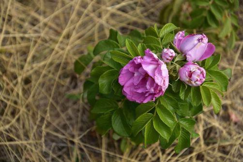 Am Rand der trockenen Wiese blüht noch eine letzte wilde Rose ...