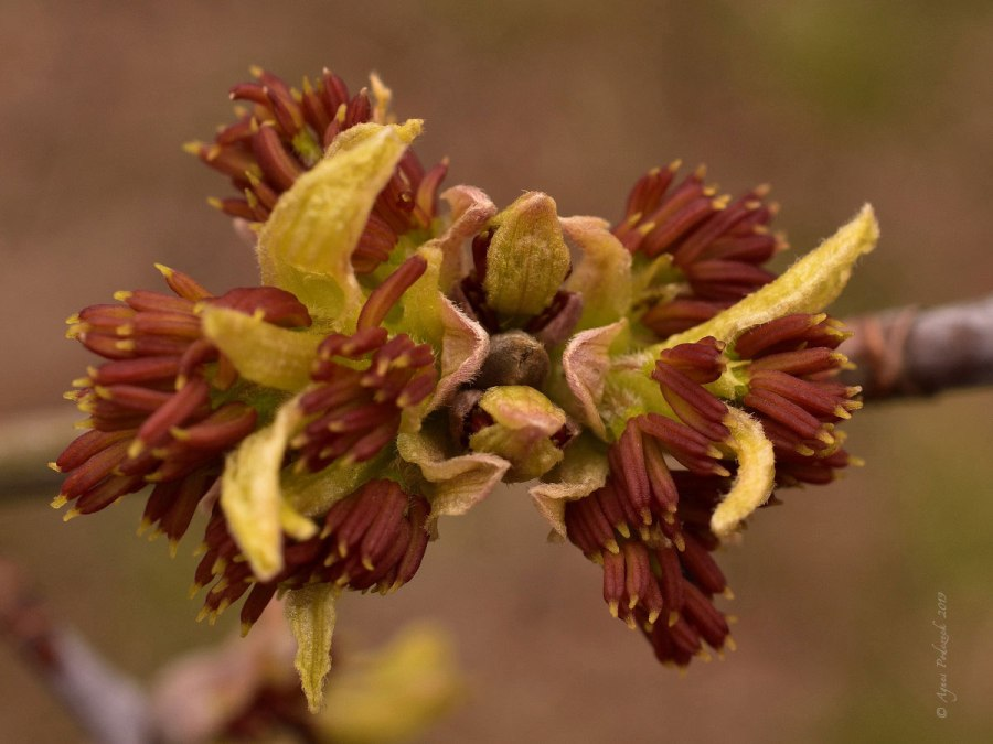 Von nahem betrachtet: Eschenahornblüten