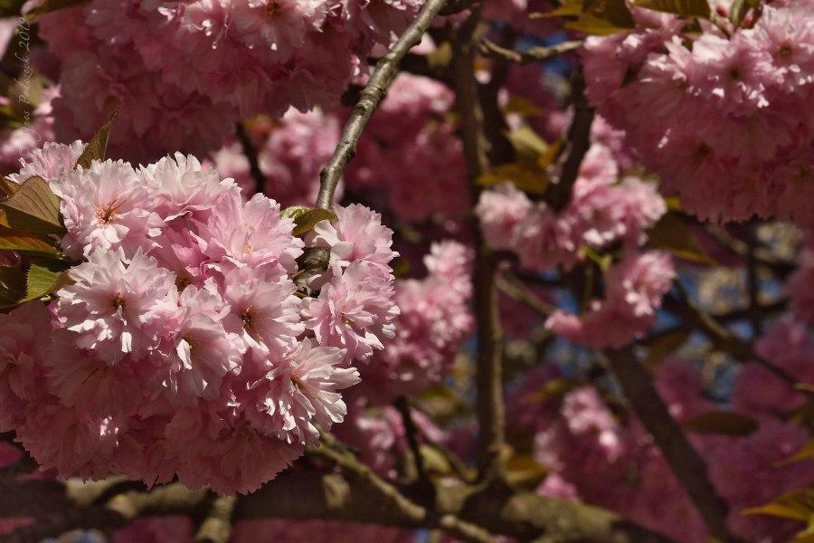 Gegensätze. Kirschblüten amMauerweg/Berlin