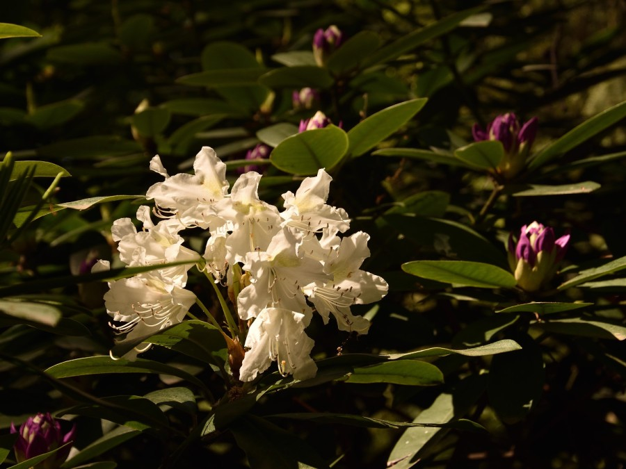 Rhododendrenblüte