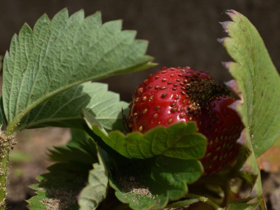 Erdbeerballerina