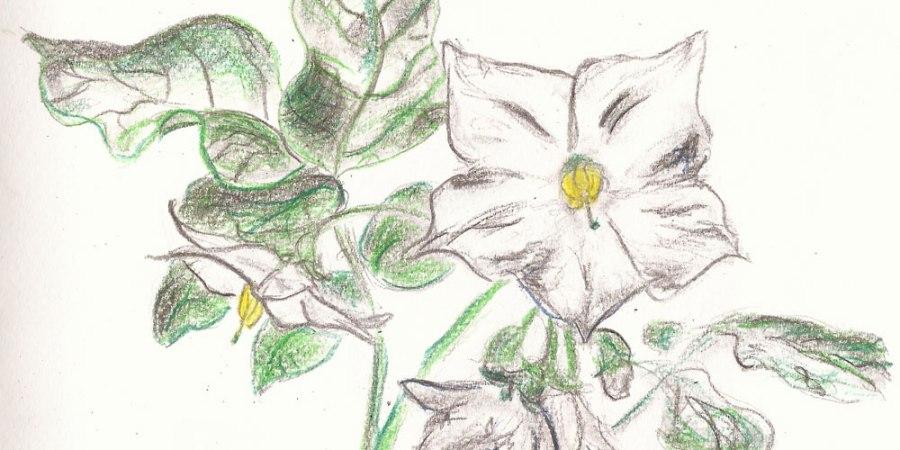 Zeichnung: Kartoffelblüte