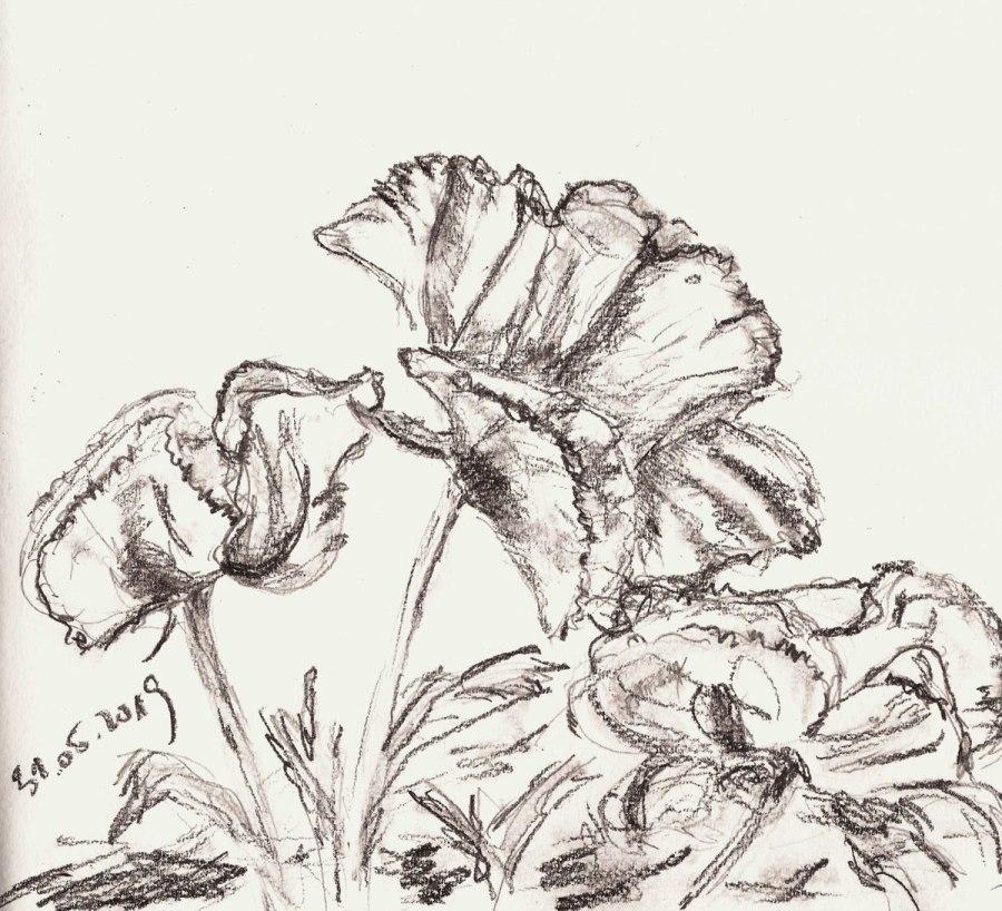 Zeichnen im Garten. DreimalMohn