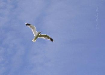 Nordseeinsel Pellworm. Möwe am Himmel, Juli 2019l