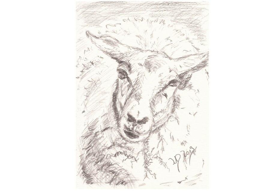 Inselrückblick (6). Das Schaf alsMultitasktalent