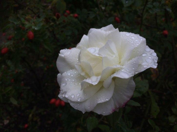 20190925_Rose2