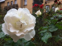 20190925_Rose5