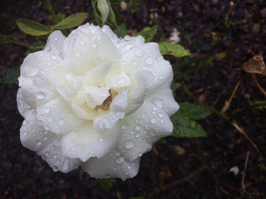Rosen gehen fast immer,oder?