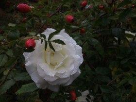 20190925_Rose7