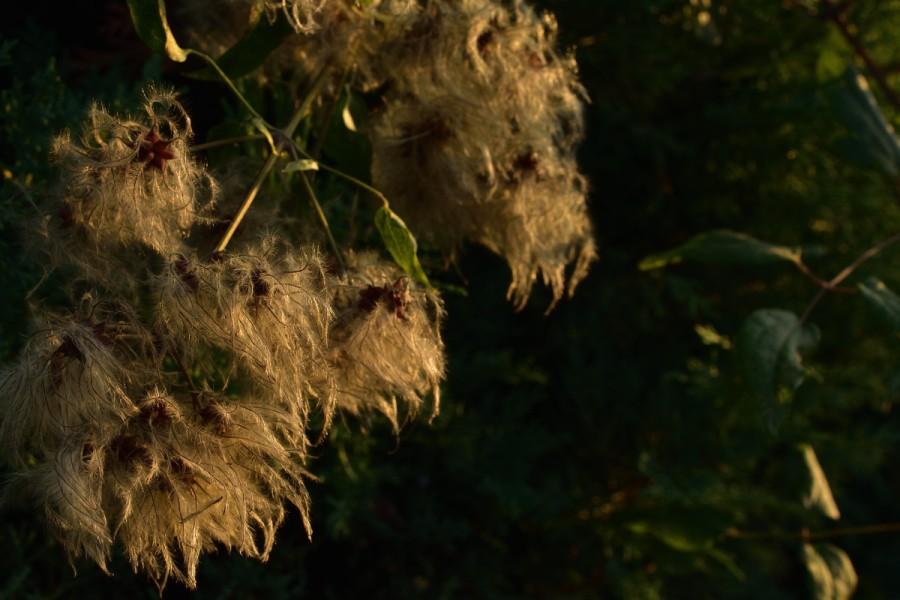 Herbstleuchten. Waldrebensamen in Licht undSchatten