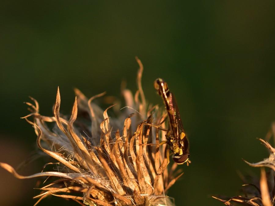 Herbstleuchten. An denDisteln