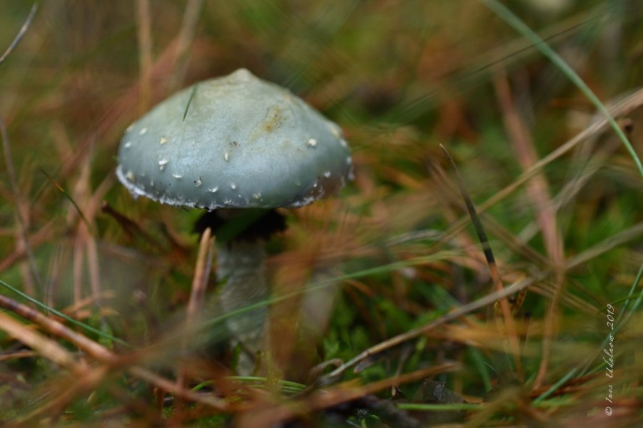 Im Pilzwald. Grünhütlein