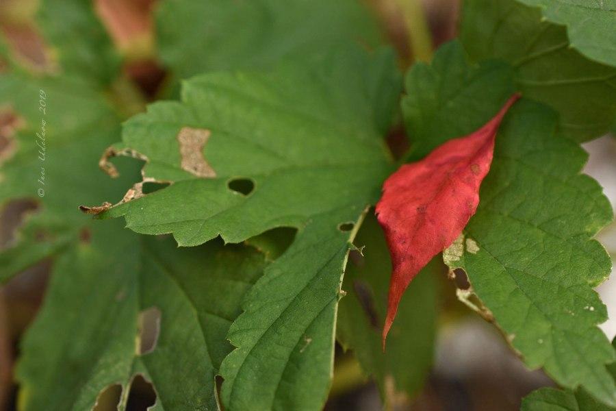 Herbstleuchten. Goldenes Oktoberrot