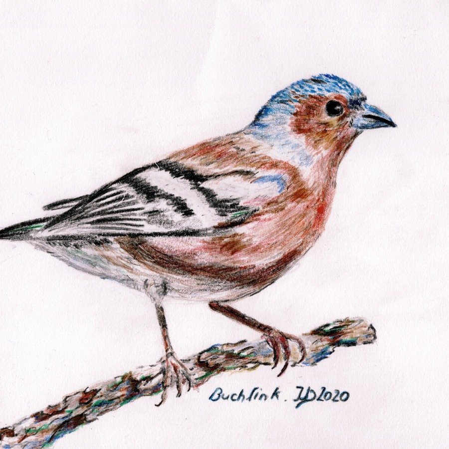Woche der Wintervögel (4). Buntstiftzeichnung Buchfink, männlicherVogel