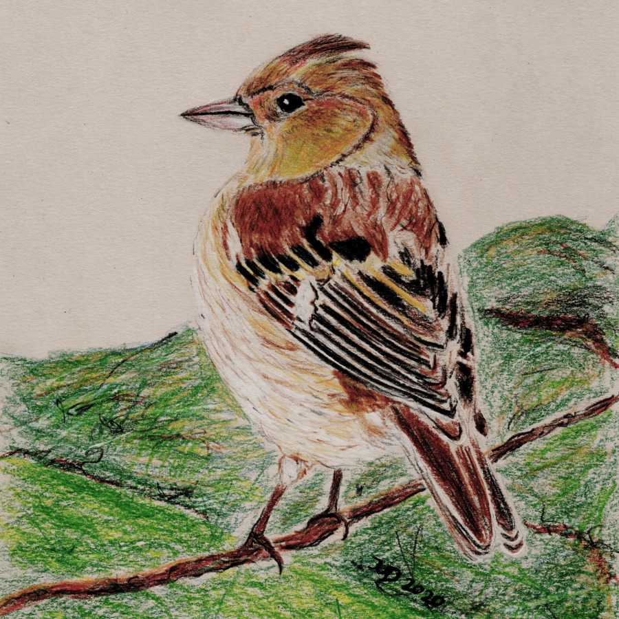 Woche der Wintervögel (3). Buntstiftzeichnung Buchfink