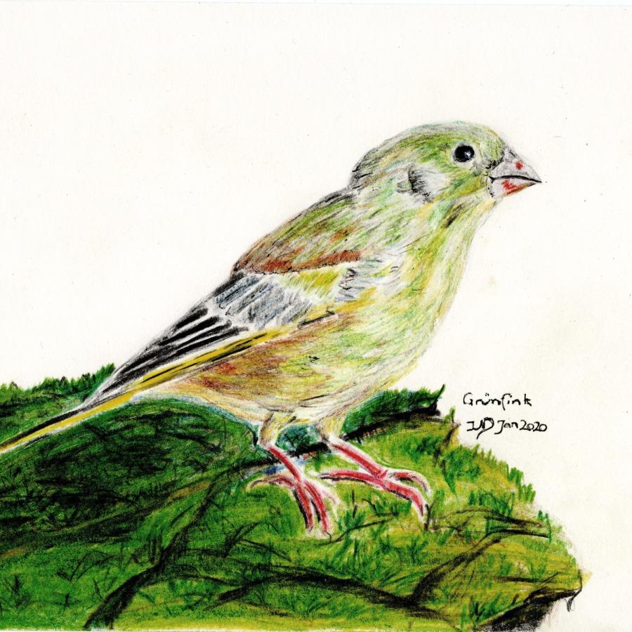 Woche der Wintervögel (5). Grünfinkmännchen, Buntstiftzeichnung