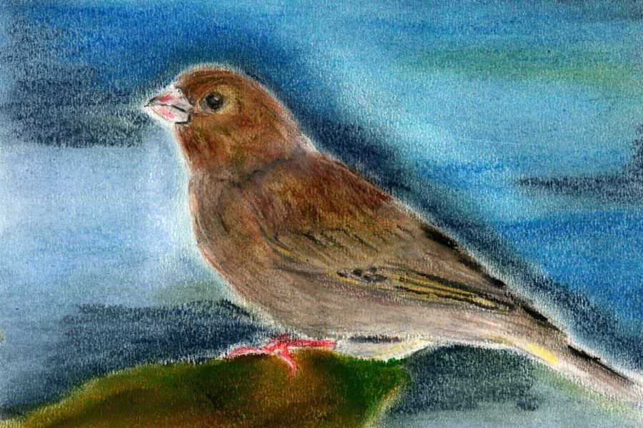 Woche der Wintervögel (6). Grünfink, Zeichnung mitPastellkreiden