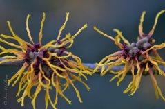 Hamamelis-Blüte / Japanische Zaubernuss