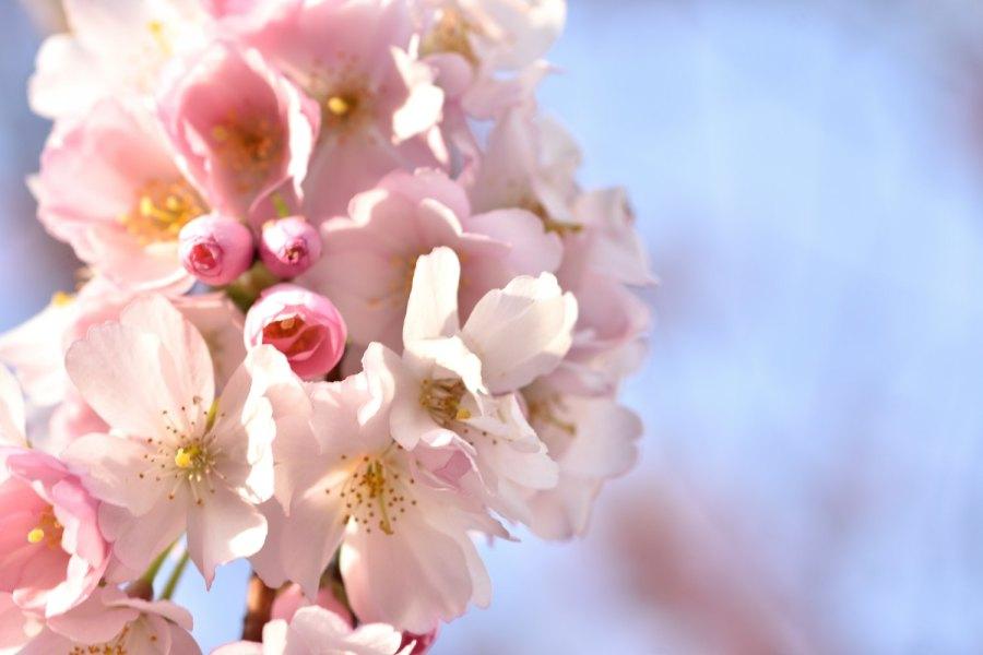 Prunusblüten himmelwärts