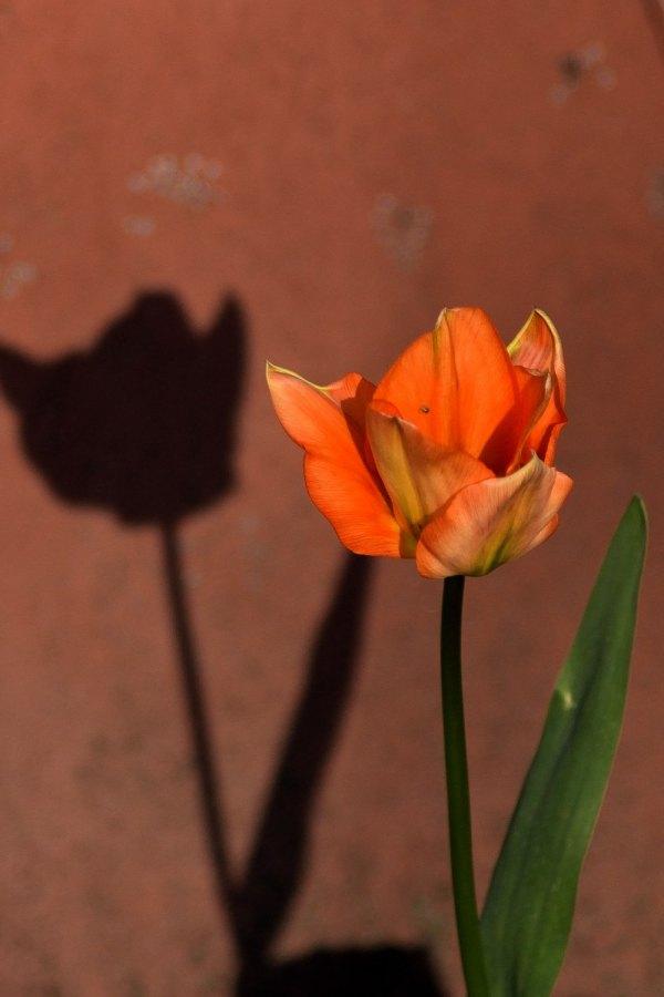Schattenspiel. Tulpe