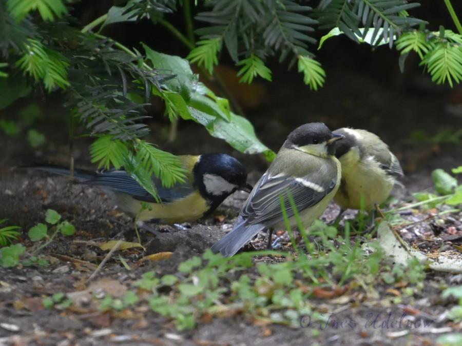 Kohlmeisenspektakel. Jungvogelfütterung