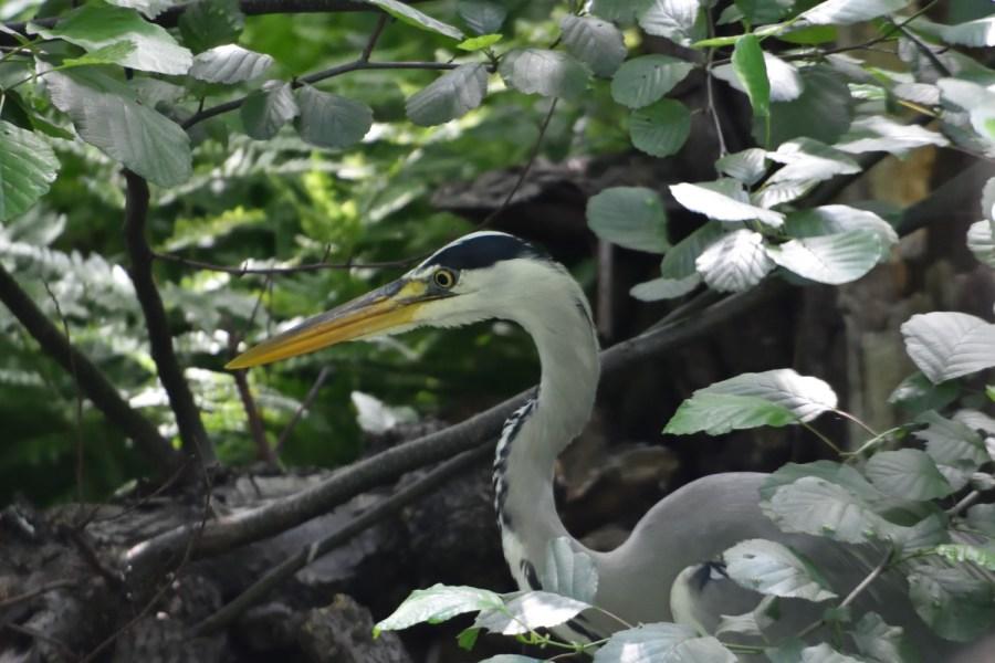 Graureiherjungvogel im Fotovisier