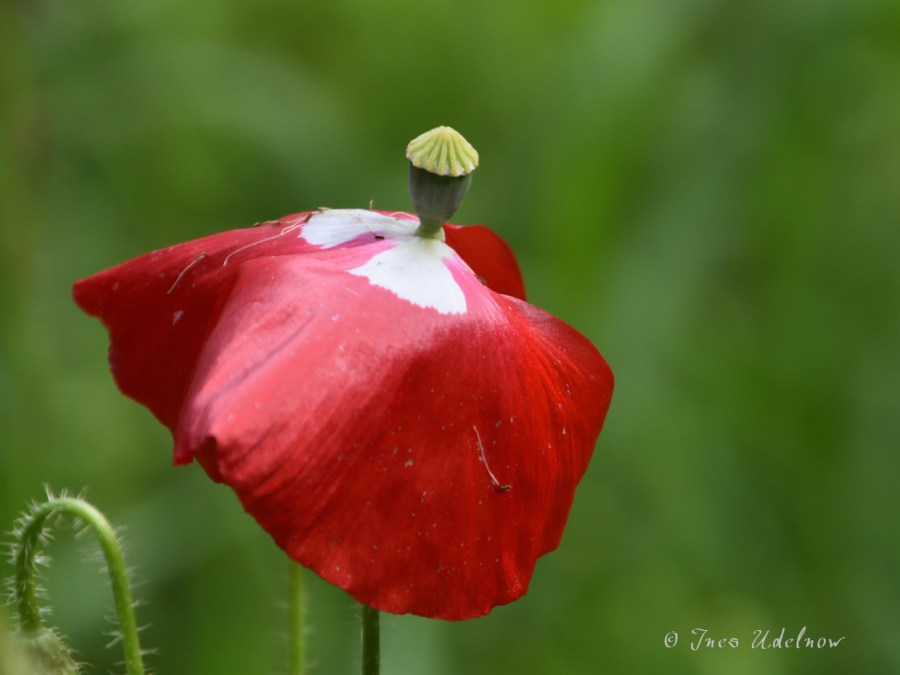Wildblumenwiesenmohn