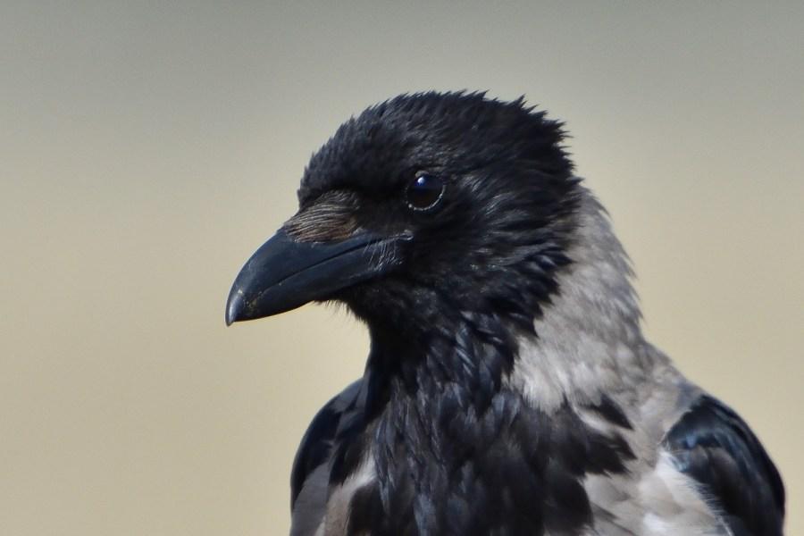 Portrait einer Nebelkrähe