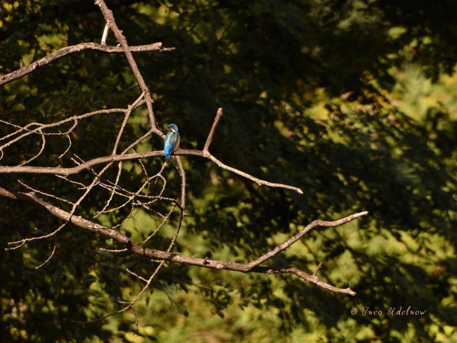 Eisvogelblau vor Spätsommergrün