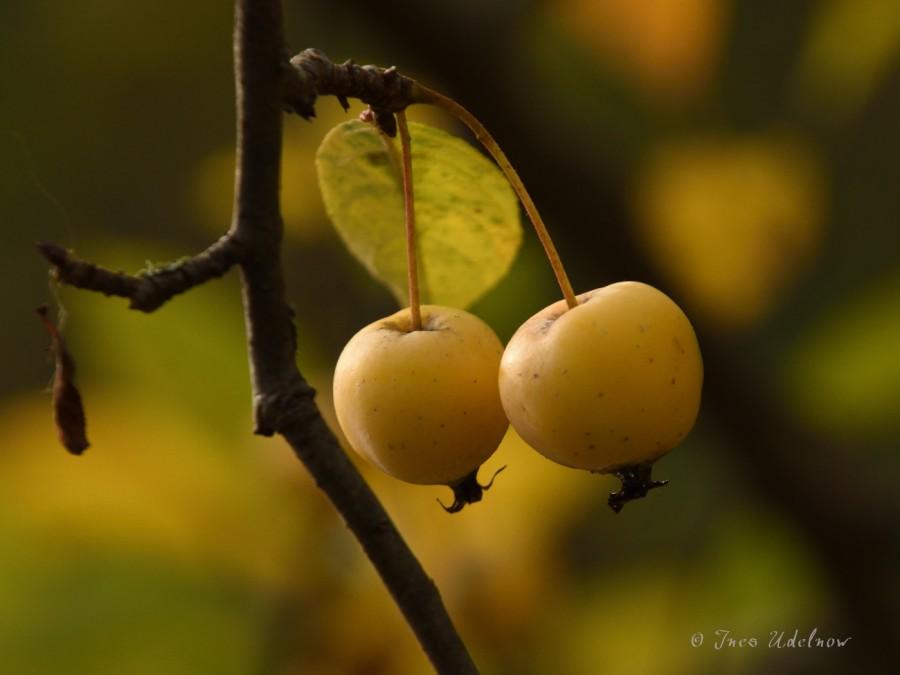 Güldene Äpfelchen