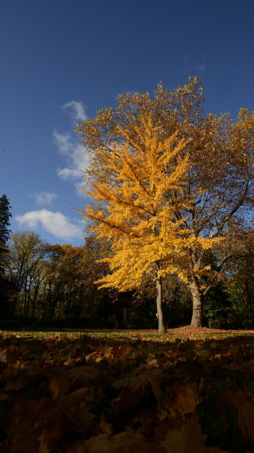 Herbstleuchten. Lebendes Fossil