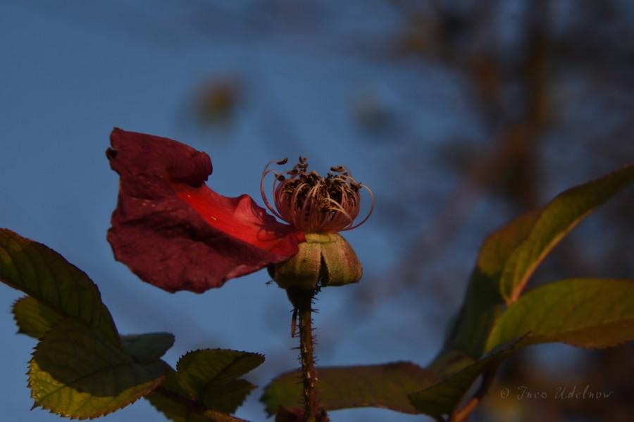 Zwei letzte Rosenblüten