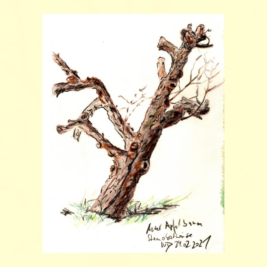 30 Tage – 30 Bäume. Baum 26. AlterApfelbaum
