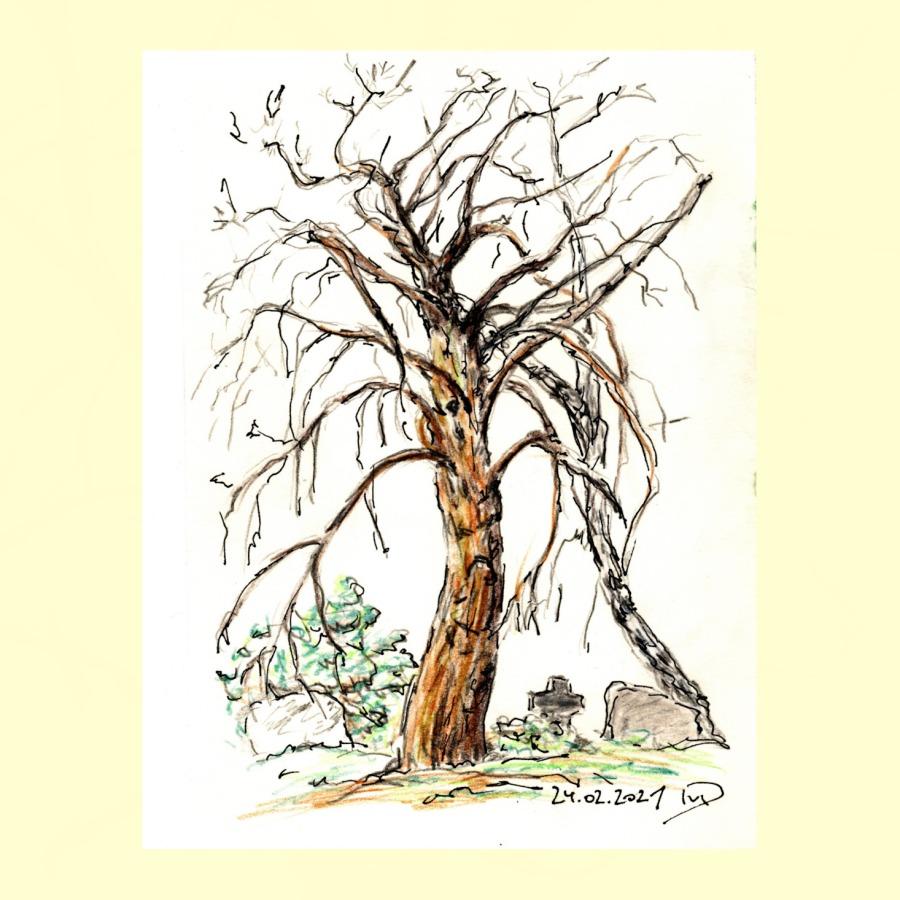 30 Tage – 30 Bäume. Baum 27.Friedhofslinde