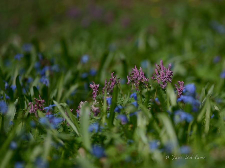 Frühlingswiesenleuchten (3)