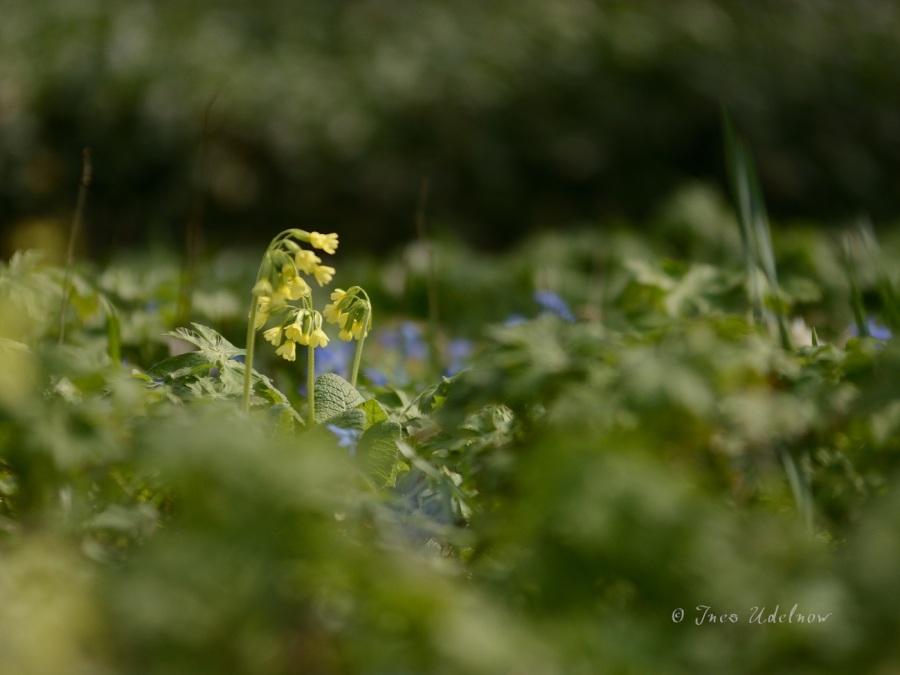 Frühlingswiesenleuchten (2)